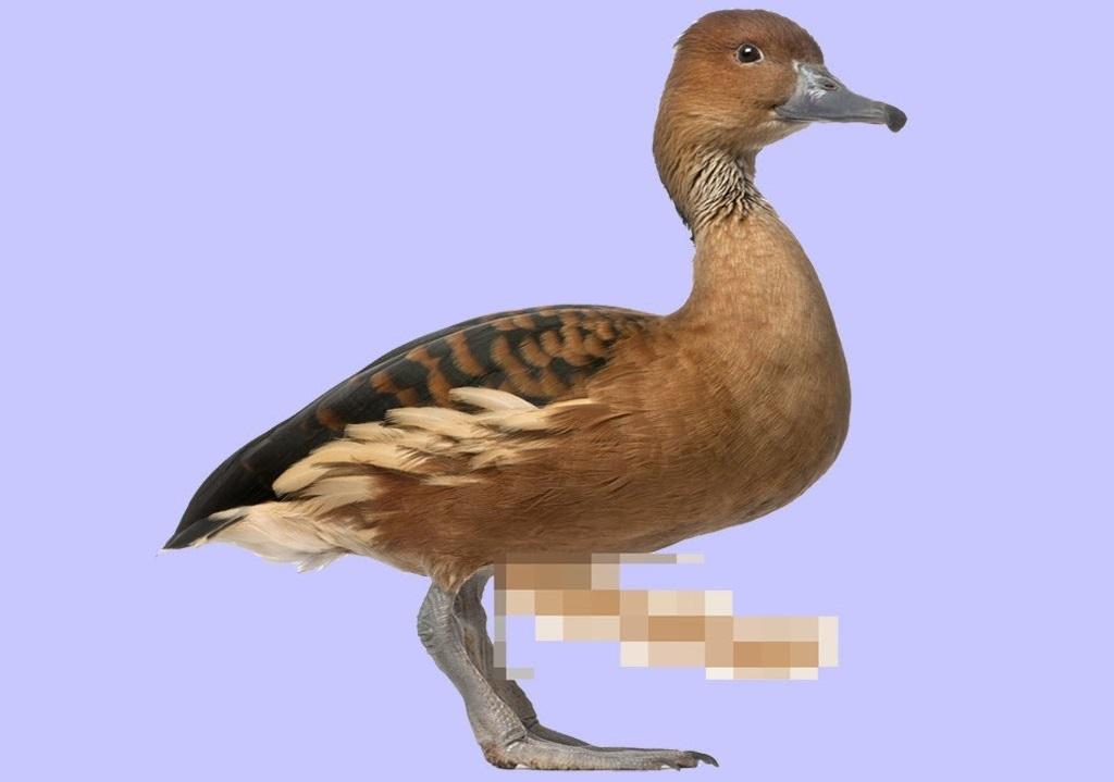 duck dick