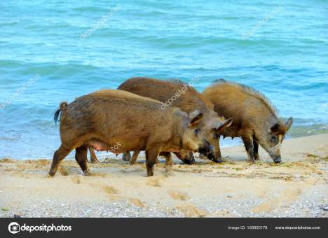 large wild boar searching for food on the beach