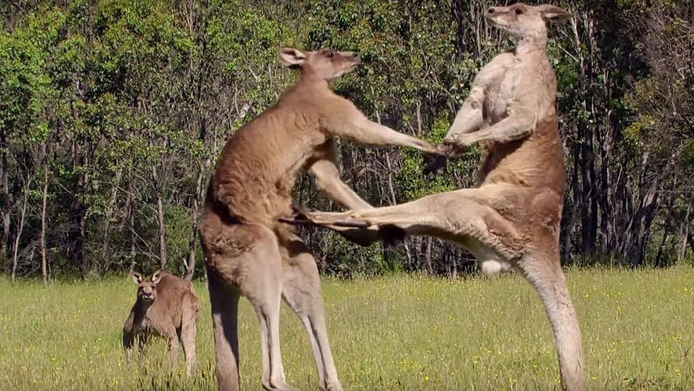kangaroids